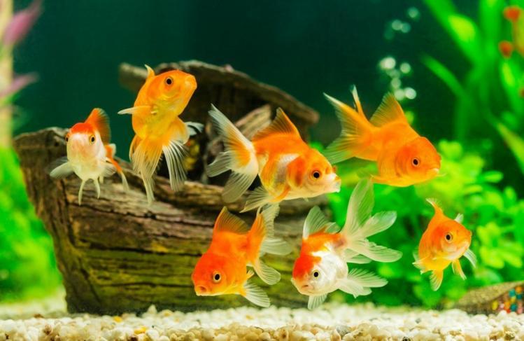 Poisson aquarium, opter pour un distributeur nourriture